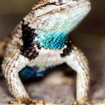 Take the Learn Your Lizards Guided Walk at Boyce Thompson Arboretum! Photo by Paul Landau, www.landauimaging.com