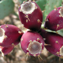 Learn about prickly pear fruit this month at Boyce Thompson Arboretum!