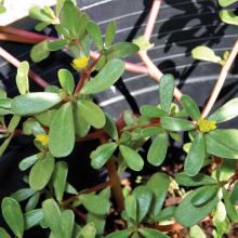 Purslane is one of the most nutritious greens on the planet.