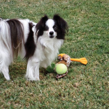 Toby the Papillon is available for adoption!
