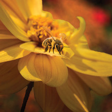 Honeybee on Dahlia by William Lewis