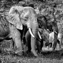 Elephant Family courtesy and credit of William Lewis, member of the Sun Lakes Camera Club.
