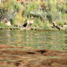While fly fishing at Lee's Ferry last October, club members observed these mountain goats coming down for a drink.