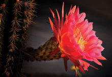Cactus in Morning Light, by William Lewis