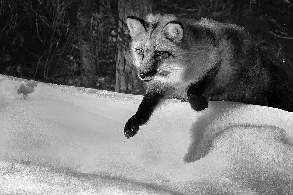 Fox on the Hunt, by Janet Ballard