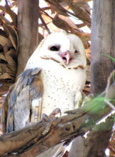 This is a Sun Lakes barn owl.