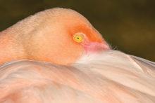 Flamingo, by Sun Lakes Camera Club member