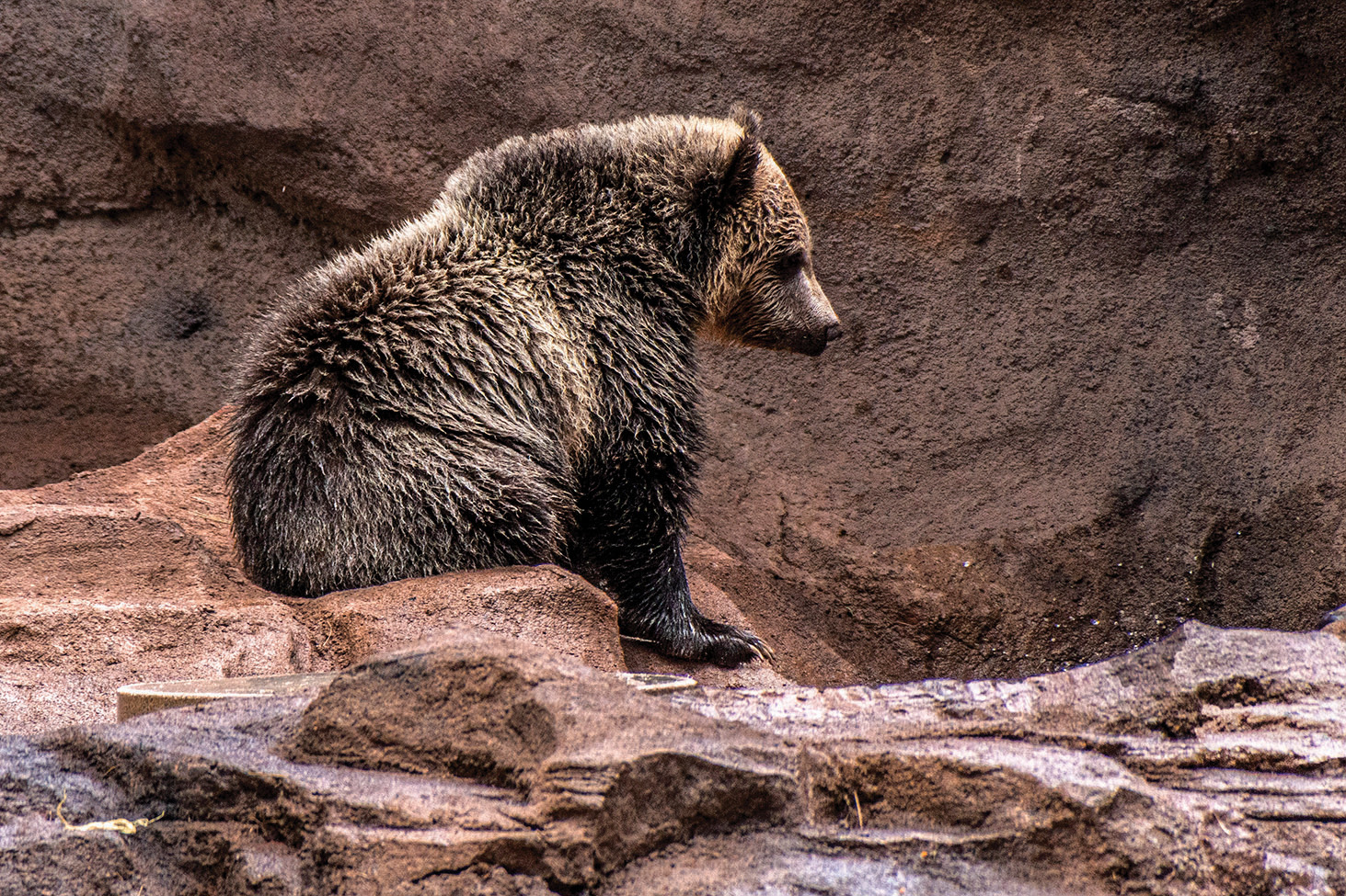 Grizzly Cub at Rest by Herman Dirks