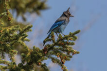 Colorado Blue Jay by Linda Davis
