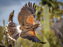 Harris Hawk 2 by Tom Jones