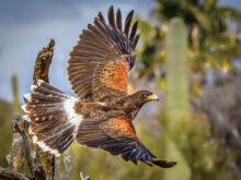 Harris Hawk 2 by Tom Jones